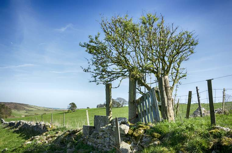 A gnarled Hawthorn tree and drystone walling near Dorchester in Dorset